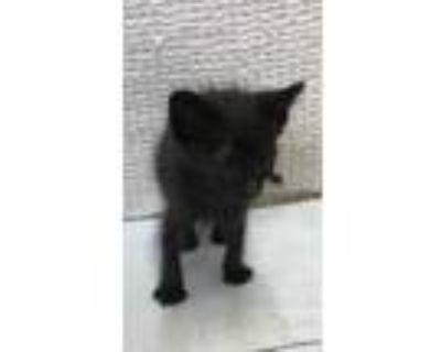 Adopt 47900240 a All Black Domestic Shorthair / Domestic Shorthair / Mixed cat