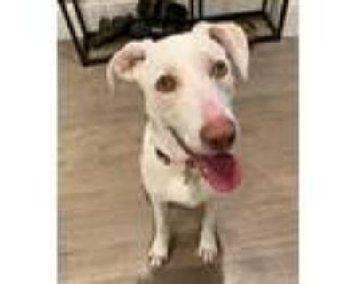 Adopt Sherri a White Labrador Retriever / Shepherd (Unknown Type) / Mixed dog in