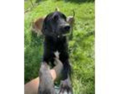 Adopt Kali a Labrador Retriever