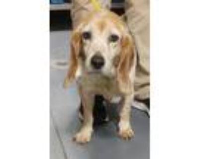 Adopt 21-07-1932 Jill a Beagle