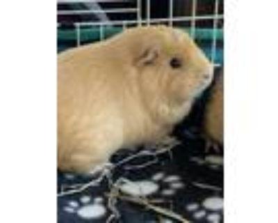Adopt Octane a Guinea Pig