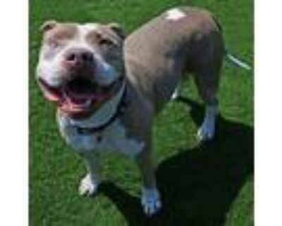 Adopt Olive a Pit Bull Terrier / Mixed dog in Mipiltas, CA (32068520)