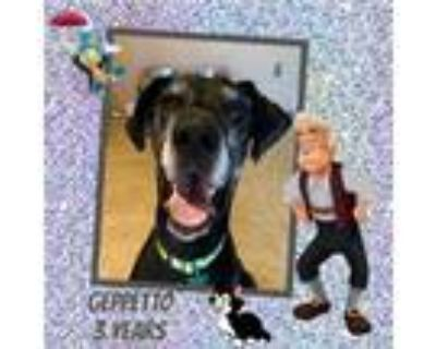 Adopt Geppetto a Black - with Gray or Silver Great Dane / Mixed dog in GLENDALE