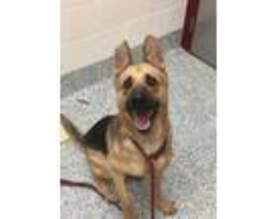 Adopt Miles a German Shepherd Dog / Mixed dog in Golden, CO (32063408)