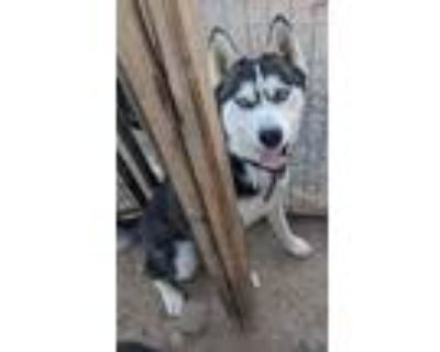 Adopt Max a Siberian Husky