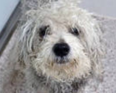 Adopt BEARINGTON a Gray/Silver/Salt & Pepper - with White Poodle (Toy or Tea