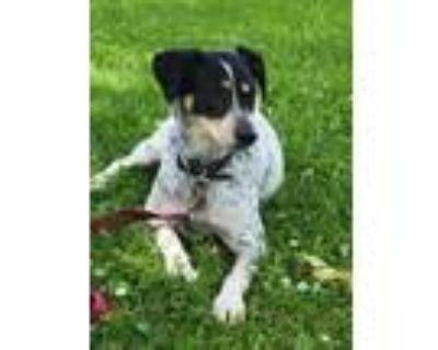 Adopt Cal a Australian Cattle Dog / Blue Heeler, Mixed Breed