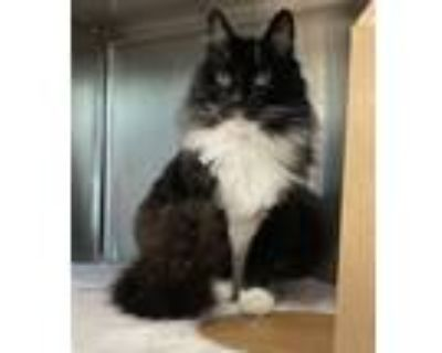 Adopt Chameleon a Domestic Longhair / Mixed cat in Stratham, NH (32073736)