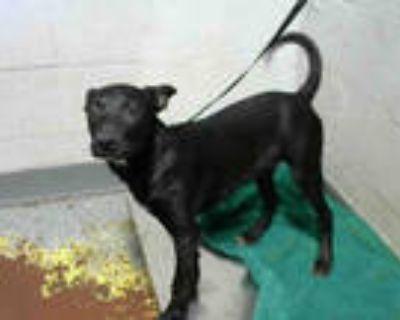 Adopt SASHA a Black Labrador Retriever / Mixed dog in Atlanta, GA (32024075)