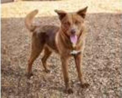 Adopt MAX a Brown/Chocolate - with White Labrador Retriever / Husky / Mixed dog