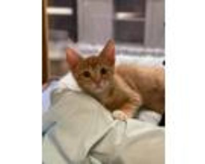 Adopt PICKLE a Domestic Shorthair / Mixed cat in Kennesaw, GA (31680260)