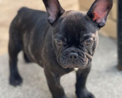 French bulldogs all carry chocolate gene