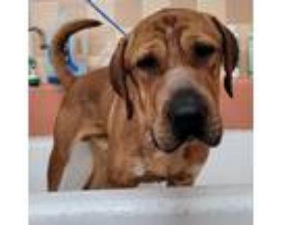 Adopt Waylon a Red/Golden/Orange/Chestnut Redbone Coonhound / Shar Pei / Mixed