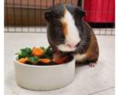 Adopt Tamagotchi a Guinea Pig