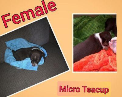 Female Micro Teacup Chihuahua Puppy