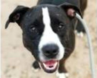 Adopt ANGEL* a Staffordshire Bull Terrier