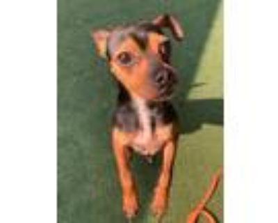 Adopt Chuay a Black Miniature Pinscher / Mixed dog in Chesapeake, VA (32062292)