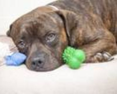 Adopt ROCKY ROAD a Brindle American Pit Bull Terrier / Mixed dog in Phoenix