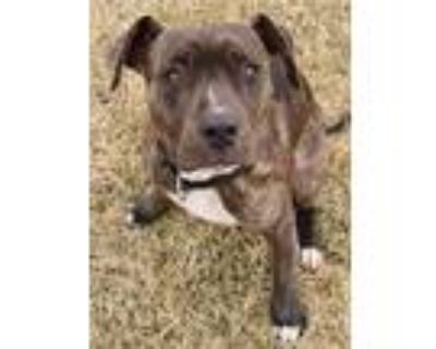 Adopt Robi a Brindle American Pit Bull Terrier / Cane Corso / Mixed dog in