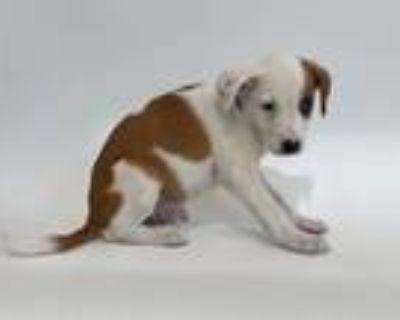 Adopt RUPERT a Pit Bull Terrier
