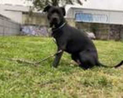 Adopt Bleux a Black - with White Labrador Retriever / American Pit Bull Terrier