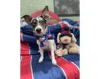 Adopt Mulan a Jack Russell Terrier