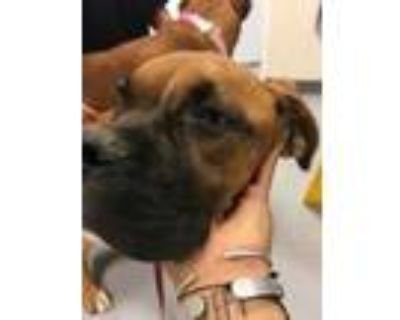 Adopt 48236902 a Brown/Chocolate Boxer / Mixed dog in Los Lunas, NM (31960168)