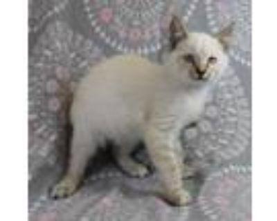 Adopt Sagwa a White Domestic Mediumhair / Siamese / Mixed cat in Morton Grove