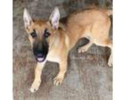 Adopt RAMROD a German Shepherd Dog