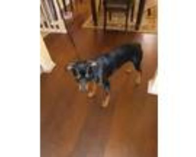 Adopt Cocoa a Brown/Chocolate - with Black Doberman Pinscher / Mixed dog in