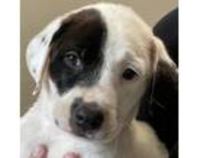 Adopt Hattie a White - with Tan, Yellow or Fawn Pit Bull Terrier / Mixed dog in
