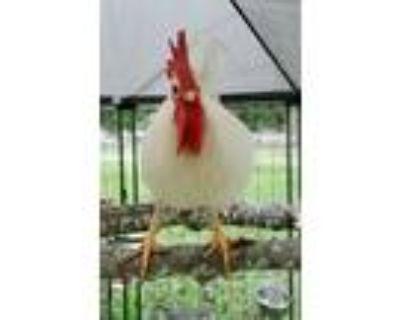Adopt Shakespeare a Chicken
