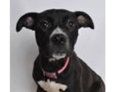 Adopt Marbles a Black - with White American Pit Bull Terrier dog in Jefferson