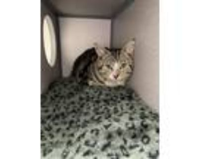 Adopt Charles a Domestic Shorthair / Mixed (short coat) cat in Cambria