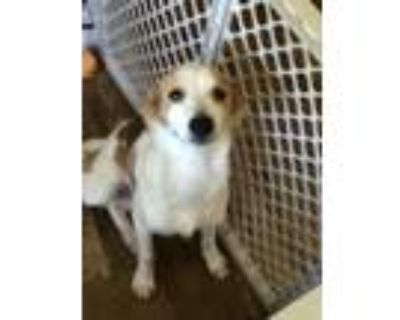 Adopt Max a Tan/Yellow/Fawn - with White Rat Terrier / Mixed dog in Kennesaw