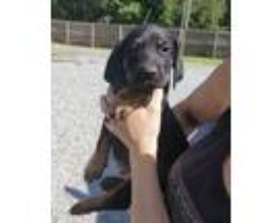 Adopt Candy, Carmello & Cassy a Labrador Retriever, Beagle