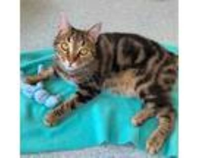 Adopt Leroy a Brown Tabby American Shorthair / Mixed (short coat) cat in