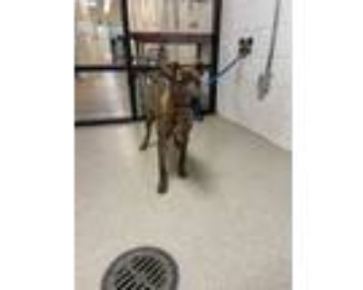 Adopt 47984508 a Brown/Chocolate Labrador Retriever / Mixed dog in Fort Worth