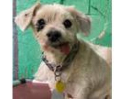 Adopt Puzzle a Tan/Yellow/Fawn Terrier (Unknown Type, Small) dog in Canutillo