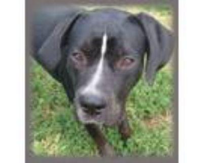 Adopt Pluto a Black - with White Boxer / Labrador Retriever dog in