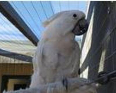 Maestro, Cockatoo For Adoption In Elizabeth, Colorado