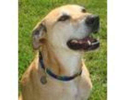 Adopt Cody a Labrador Retriever