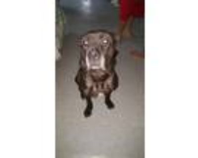 Adopt Toby a Black Cane Corso / Mixed Breed (Large) / Mixed dog in indianapolis