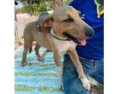 Adopt IKE a Tan/Yellow/Fawn Labrador Retriever / Mixed dog in Mesa