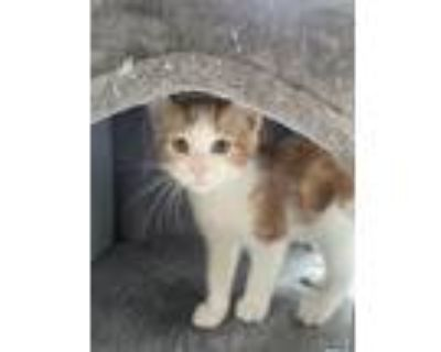 Adopt Caramel Corn a Orange or Red (Mostly) Domestic Shorthair / Mixed cat in