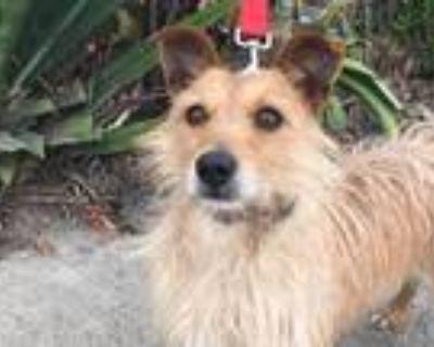 Adopt Butterscotch a Tan/Yellow/Fawn Wheaten Terrier / Cairn Terrier / Mixed dog