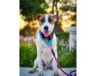 Adopt Tito a White - with Red, Golden, Orange or Chestnut Shepherd (Unknown