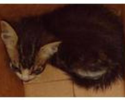 Adopt 48012981 a All Black Domestic Shorthair / Domestic Shorthair / Mixed cat