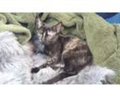 Adopt Polly a Tortoiseshell Domestic Shorthair (short coat) cat in Duluth