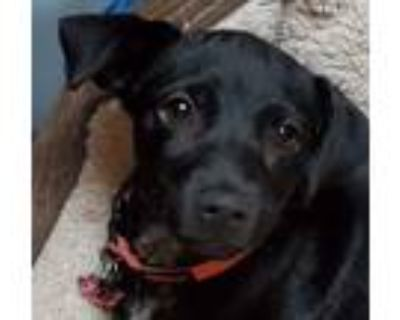 Adopt Samed a Black Labrador Retriever, Terrier